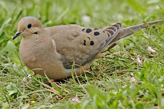 183 turtle dove