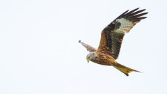 harrier, animal, hawk, bird of prey, falcon, wing, fauna, buzzard, accipitriformes, kite, beak, bird,