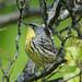 kirtlands warbler at montrose-3 by BobRobin