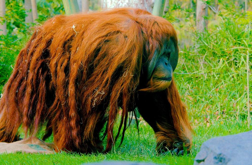 Orangutan_4