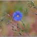 Wild Blue Flax Flowers