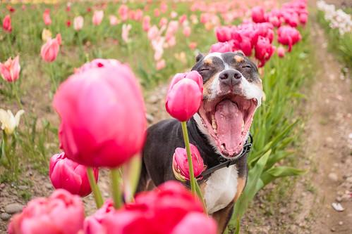 Tulips-7387
