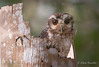 Bare-legged Owl - Margarobyas lawrencii