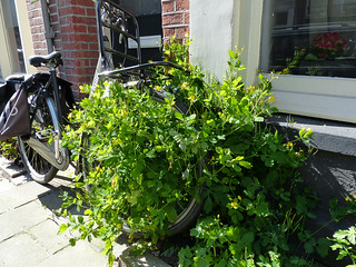 Green urban vegetation attacks a parked bicycle in the streets of Amsterdam city in Spring of 2014