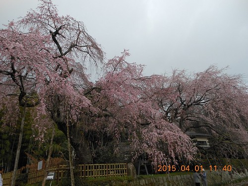 Full bloom in Hiroshima (1)