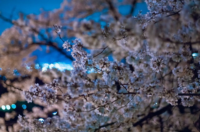 夜桜の向こうに街の灯り