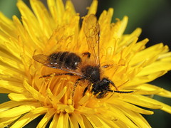 Male solitary bee (Andrena spp) on a dandelion, Sandy, Bedfordshire