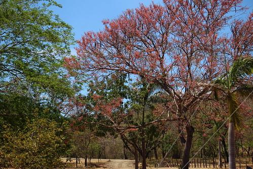 trees santacruz canon landscape colours arboles paisaje colores sandal cassia guanacaste carao cassiagrandis canoneoskissx7