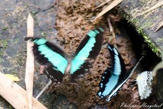 Papilio phorcas + Papilio chrapkowskoides20150314_48572