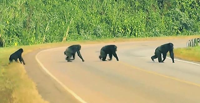 chimpances1