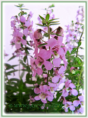 Close-up of Angelonia angustifolia 'Angelface Pink' (Summer Snapdragon) - Dec 16 2014