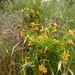 Small photo of Diplacus aurantiacus-Monkeyflower