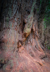 Looks like a hunting cat on a Redwood at Henry Cowell Redwoods State Park - Santa Cruz CA