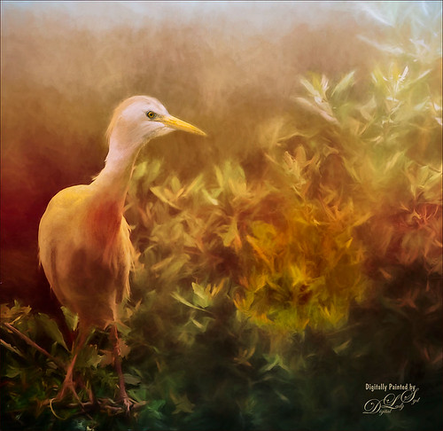 Image of Cattle Egret