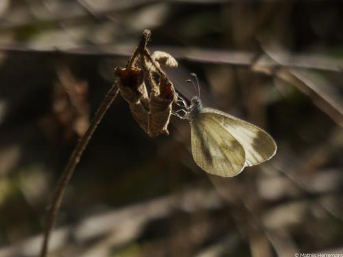 Het boswitje (Leptidae sinapis)