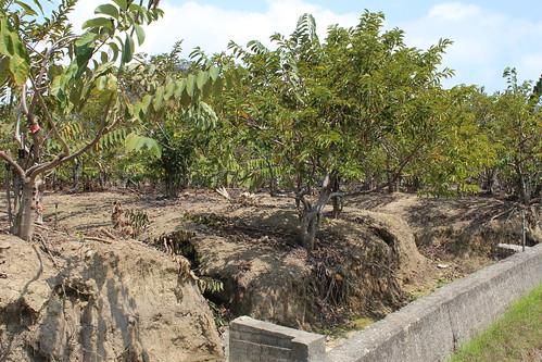 使用除草劑雖讓果園看似乾淨,但是一經雨水沖刷,就有土石流失的危機。攝影:廖靜蕙。