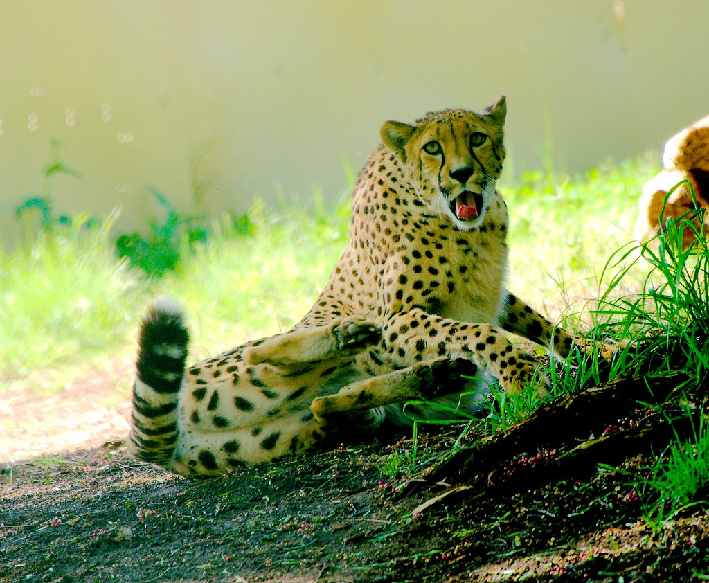 Cheetah (Acinonyx jubatus)_14