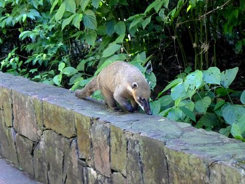 Coati, tipici animali di questo ecosistema