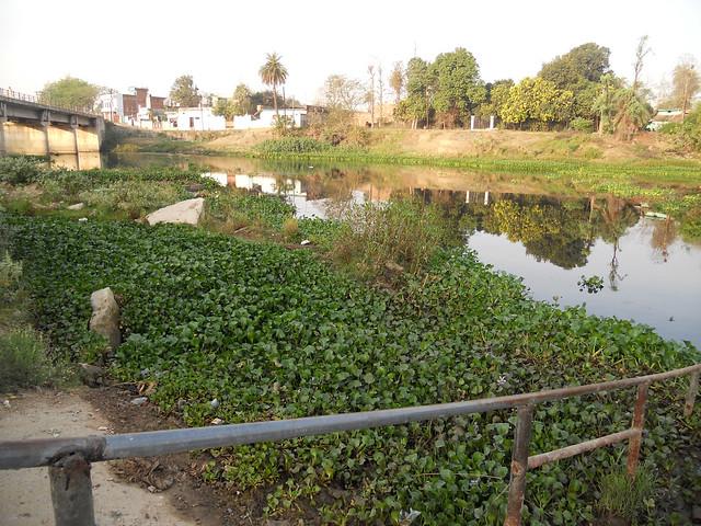 जलकुम्भी ने नदी के बहुत बड़े हिस्से को चपेट में ले लिया है