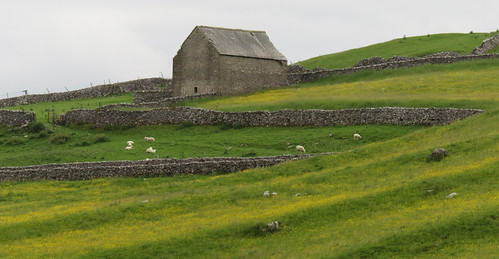 Yellow field and a stone barn on our Malham walk in the Yorkshire Dales of England