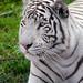 Tigre Blanco - White Tiger