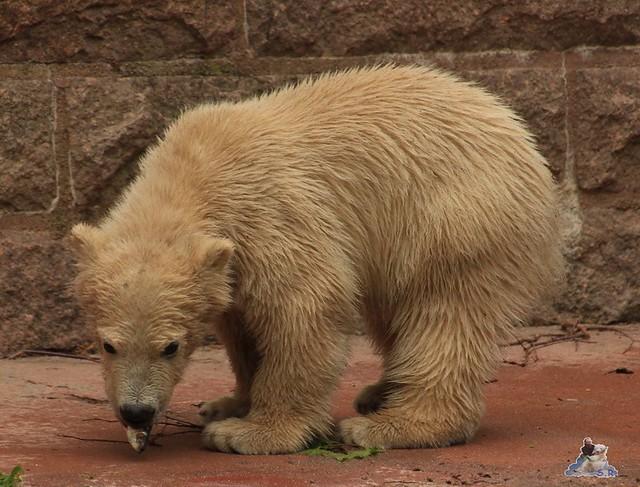 Eisbär Fiete im Zoo Rostock 04.05.2015 192