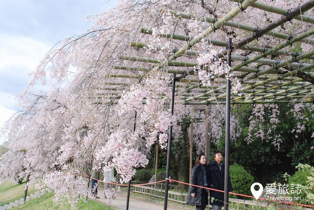 京都赏樱景点 半木之道 05