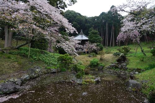 11_長楽寺の桜