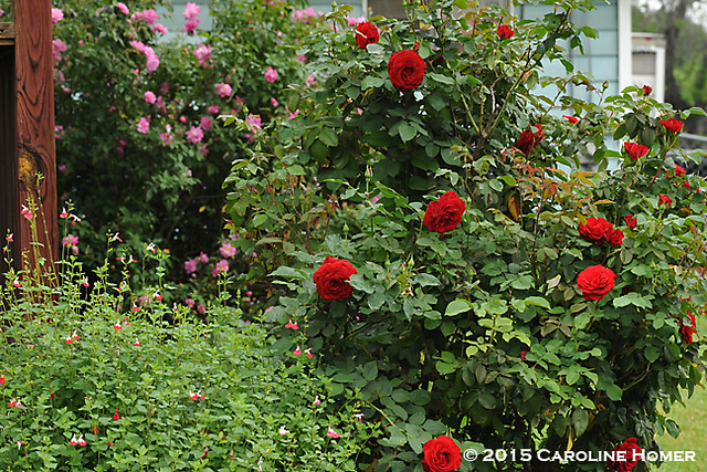 salvia and roses