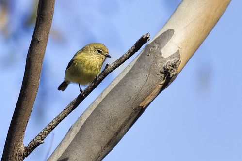 Yellow Thornbill 2015-04-12 (_MG_2756)