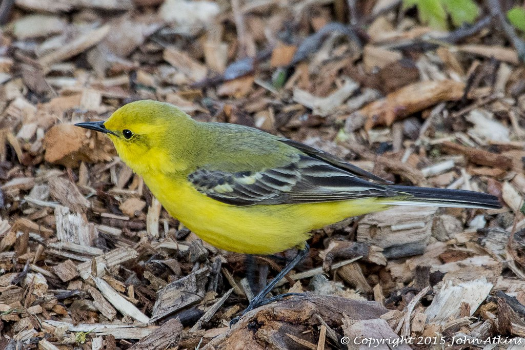 Yellow Wagtail at Nene Park Trust 07/05/15