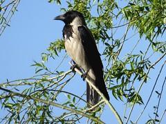 Corneille mantelée - Hooded crow