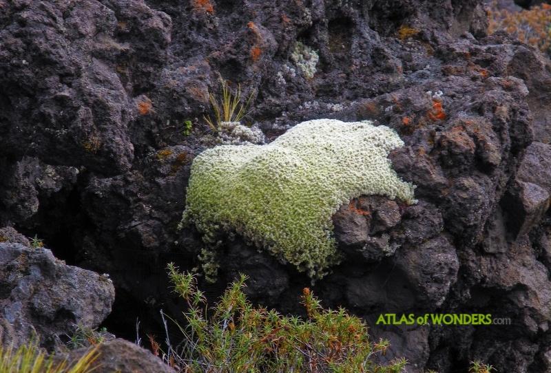 New Zealand Moss