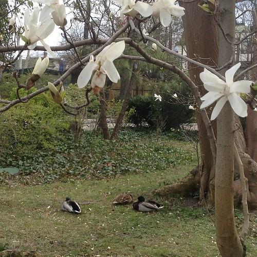 В зоопарке - утки под магнолией))) #будапешт