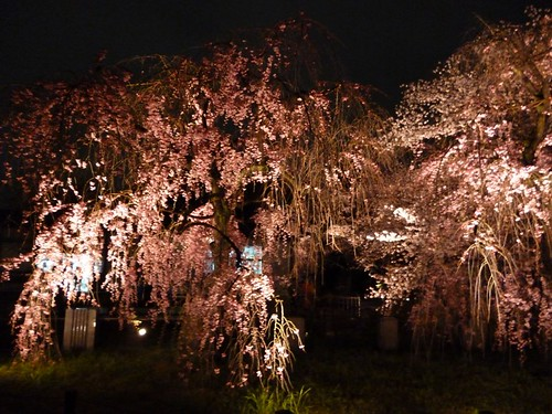 cherry blossom light up 2