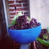 Il raccolto di oggi 3: lattuga e cicoria #ortoinvaso #ortosulbalcone