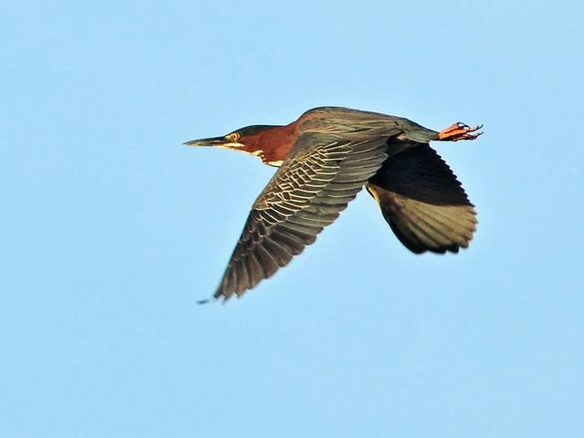 Green Heron in flight 2-20150413