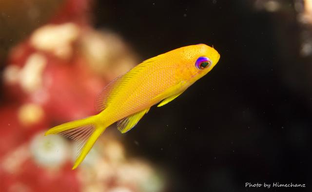 キンギョハナダイ幼魚