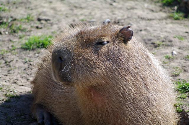 37446-Chester Zoo-2015-Capybara
