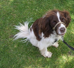 dog breed, animal, kooikerhondje, dog, pet, mammal, king charles spaniel, drentse patrijshond, spaniel, french spaniel, english springer spaniel, cavalier king charles spaniel,