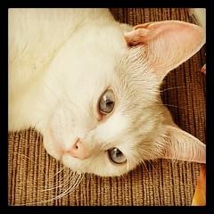 #luna #cat #gato #miau #meow #whitecat #lindademae #tchutchuca #instacat #gatto #neko #kitty #branquela