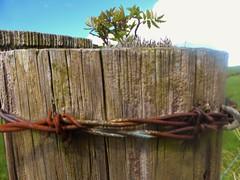 Rowan tree in fence post