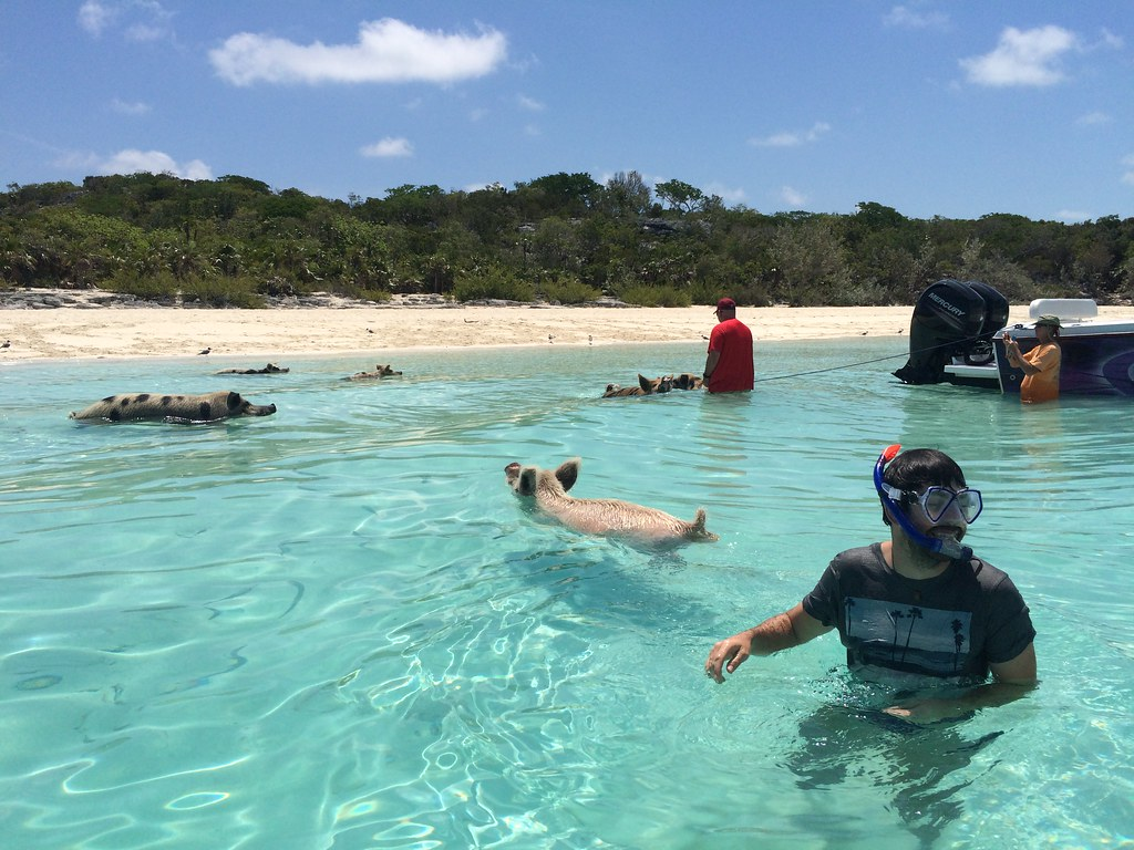 Oscar swimming with the pigs on Pig Beach or Big major Cay, Exuma.