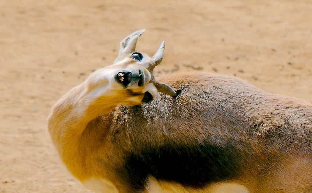 Speke's Gazelle (Gazella spekei)_4_v2
