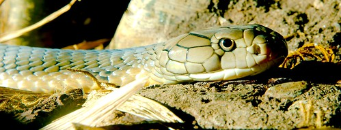 King Cobra (Ophiophagus hannah)_1