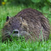 Small photo of A patient coypu