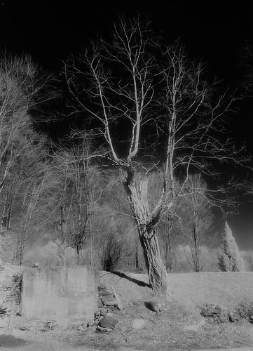 Standing tree, Corinth, N.Y.