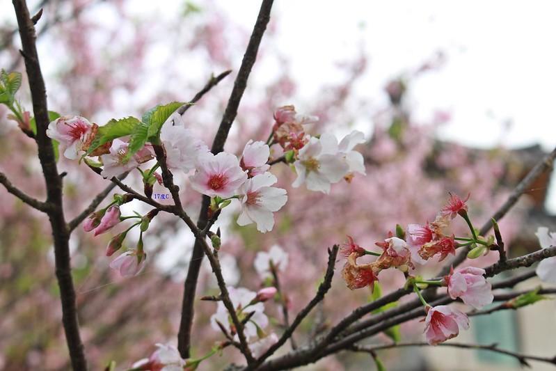 17度C在地景點春季推薦-東方室-櫻花 (4)