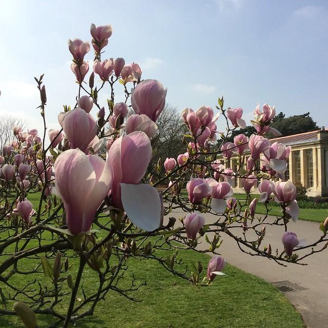 Kew Gardens Magnolia 2015