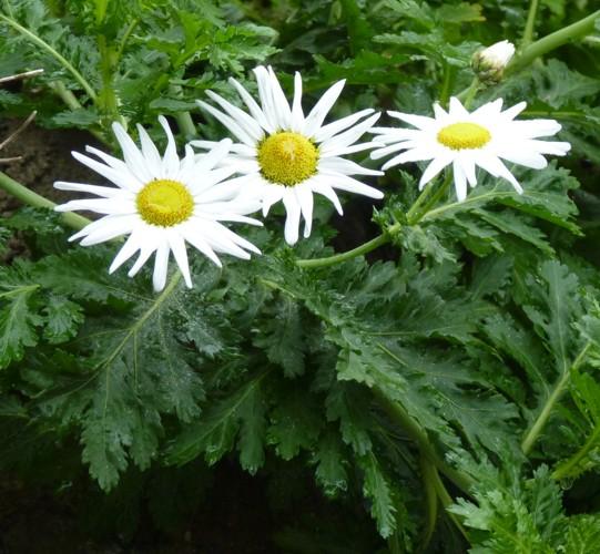 Argyranthemum broussonetii 17101941130_aa4d4c81df_o